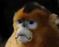 金丝猴自然保护区掠